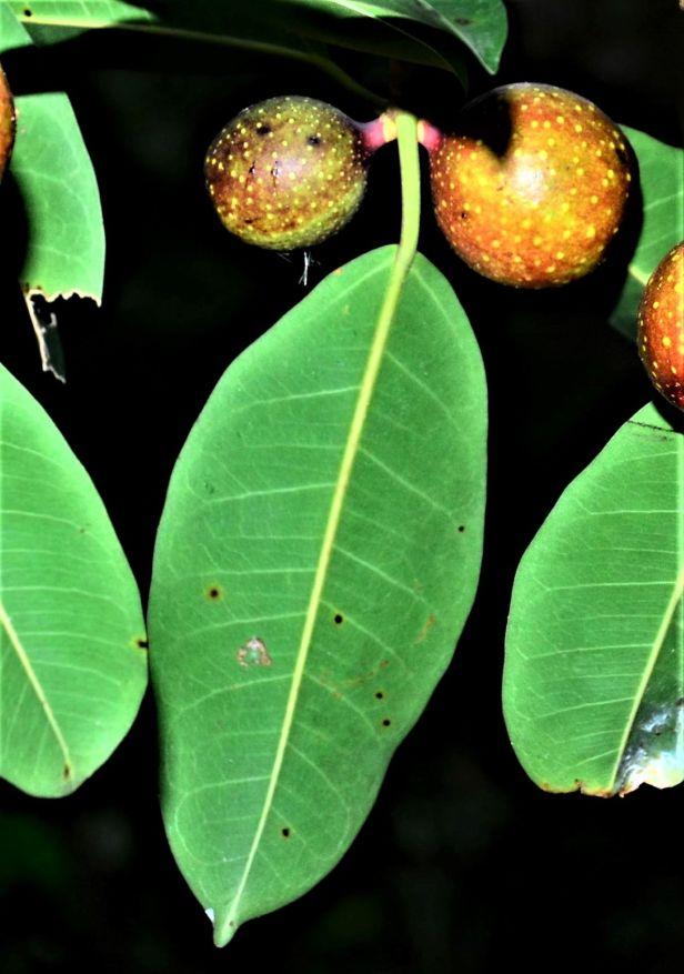 06 Ficus dubia  Ulu Kimanis●20190386★ Shuai LIAO-LSL_9938 (2).JPG