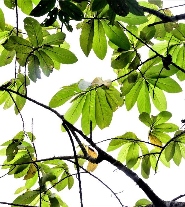 07 Ficus megaleia Crocker Range Park Ulu Kimanis●20190379★ Shuai LIAO-LSL_9673