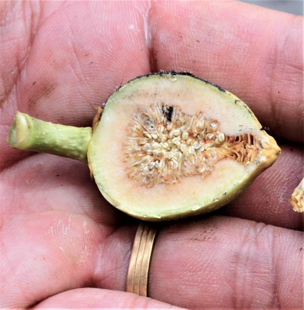 08 Ficus annulata RDC Arboretum Office●20190455★Shuai LIAO-LSL_2934.JPG