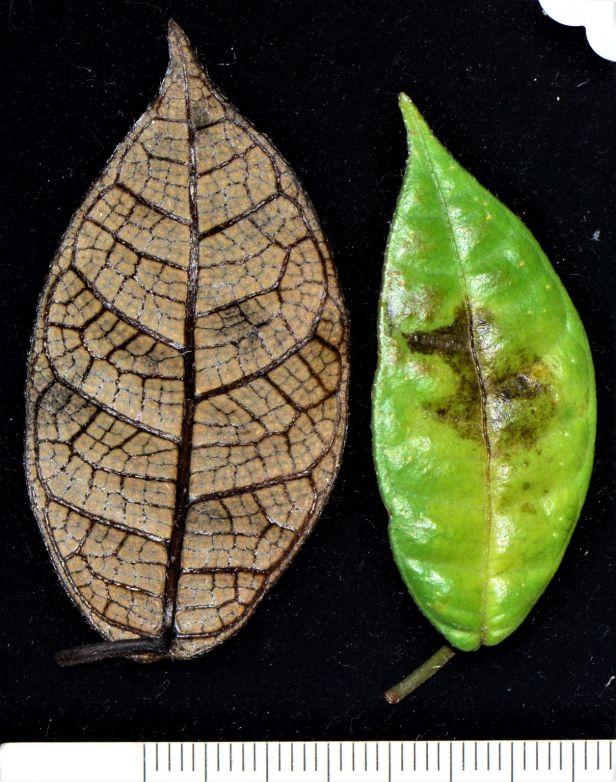 08  Ficus carrii Kinabalu ●20190371★ Shuai LIAO-LSL_2642.JPG