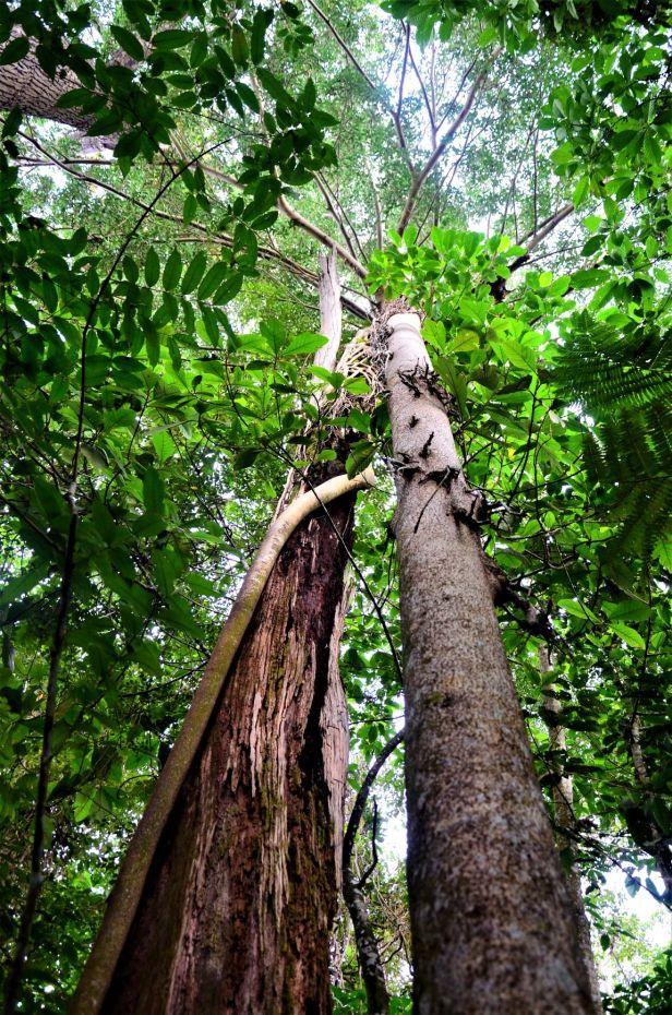 09 Ficus dubia Ulu Kimanis ●20190386★ Shuai LIAO-LSL_9957.JPG