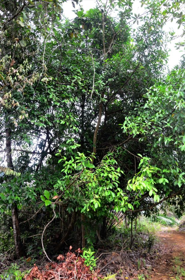 10 Ficus pisocarpa, Tongod, Tangkulap FR●20190410★ Shuai LIAO-LSL_1209.JPG