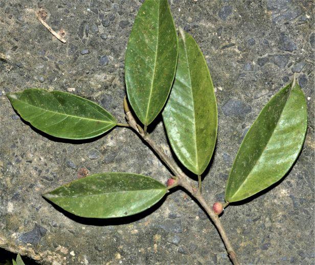 11 Ficus PALLESCENS RDC Jalan Fabia●20190456★ Xin-Xin ZHOU_2020.01.26-2613