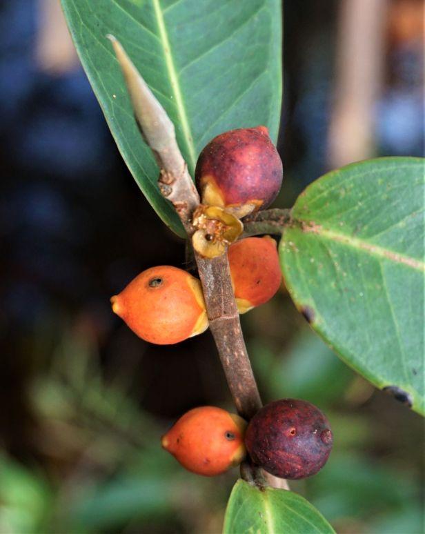11 Ficus acamptophylla DSC02495.JPG