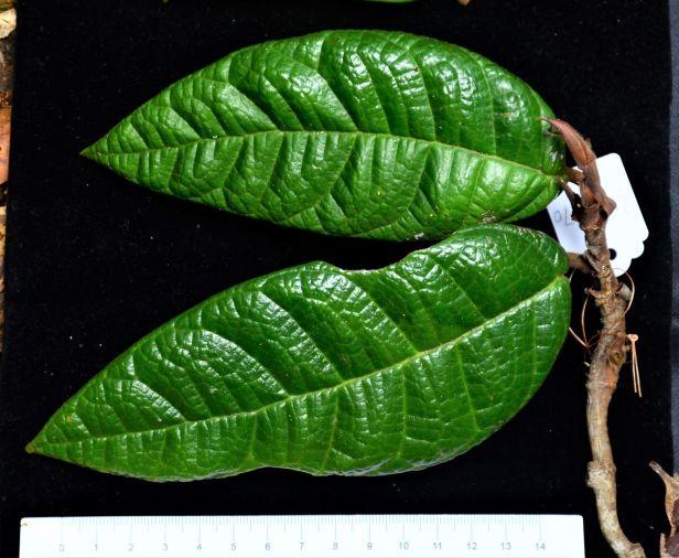 Ficus carrii 04 Bukit Burung Trail●20190370★ Shuai LIAO-LSL_9406.JPG