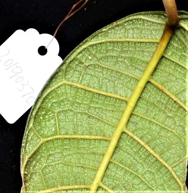 Ficus carrii 06  Bukit Burung Trail●20190370★ Shuai LIAO-LSL_9404.JPG
