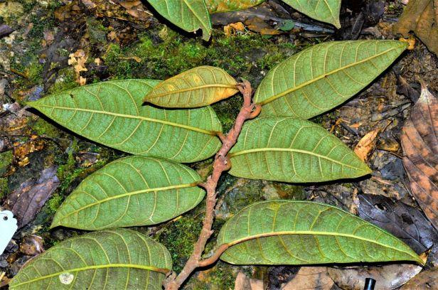 Ficus carrii 07  Bukit Burung Trail●20190370★ Shuai LIAO-LSL_9369.JPG