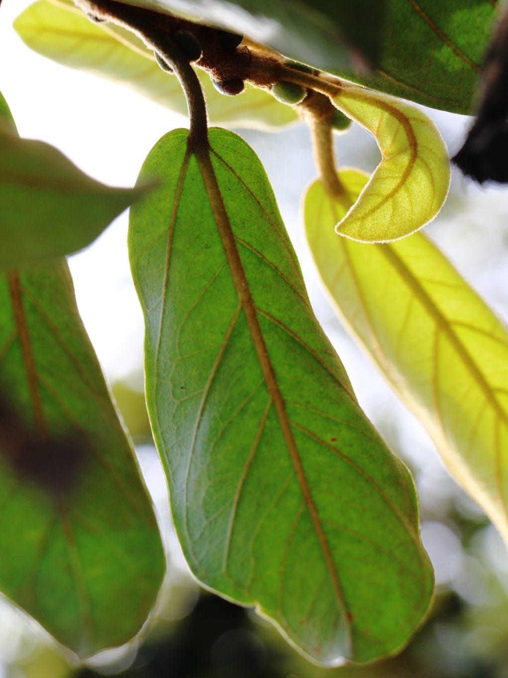 Ficus consociata IMG_0272 - Copy.JPG