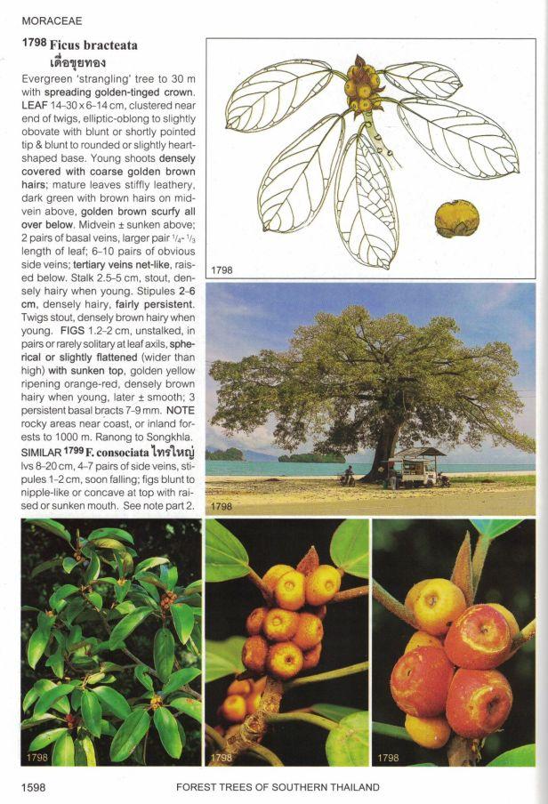 Gardner (2018) Thai Figs - Copy.jpg