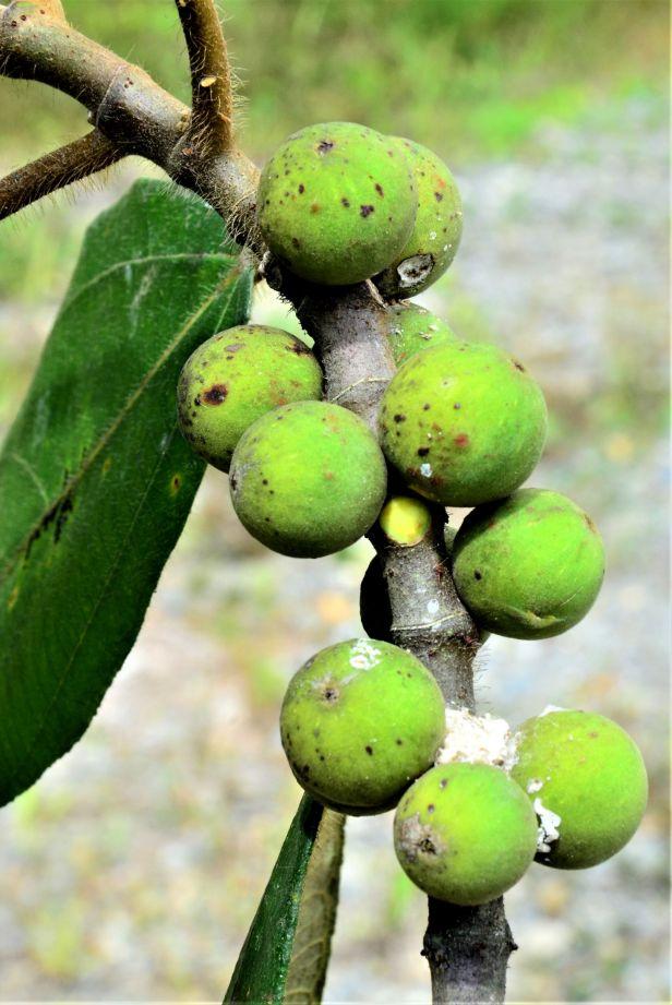 00 Ficus brunneoaurata Tambunan, Kg. Tonop●20190373★Shuai LIAO-LSL_9498