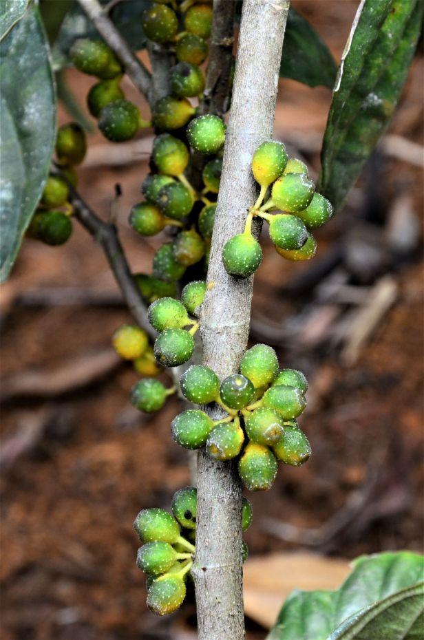 01 Ficus midotis, Tongod, Tangkulap FR●20190414★Shuai LIAO-LSL_1377