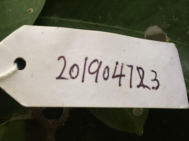 01 Ficus sumatrana Kg Sukau ●20190473★ Shuai LIAO-IMG_9752