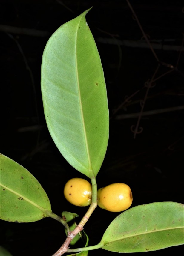 01 Ficus sundaica Pontianak.jpg