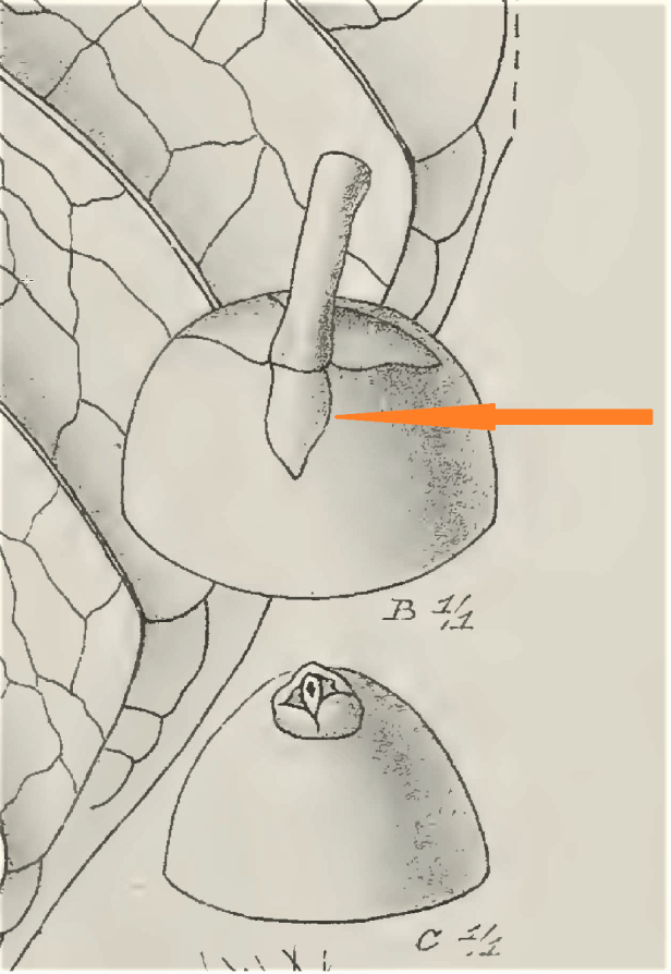 02 Annulata peduncle drawing Atlas Von Java.png