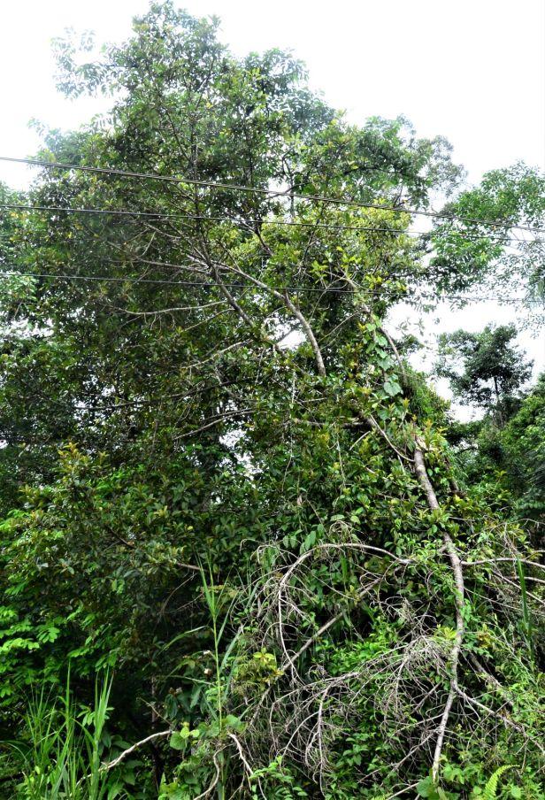 02 Ficus consociata, Beluran, Ulu Sapa Payau FR, ●20190434★ Shuai LIAO-LSL_2054