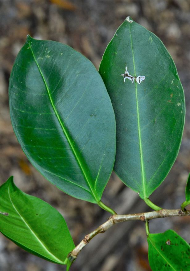 02 Ficus microcarpa, Sandakan, Pusat Bandar,Jalan Leila●20190447★Shuai LIAO-LSL_2431.JPG