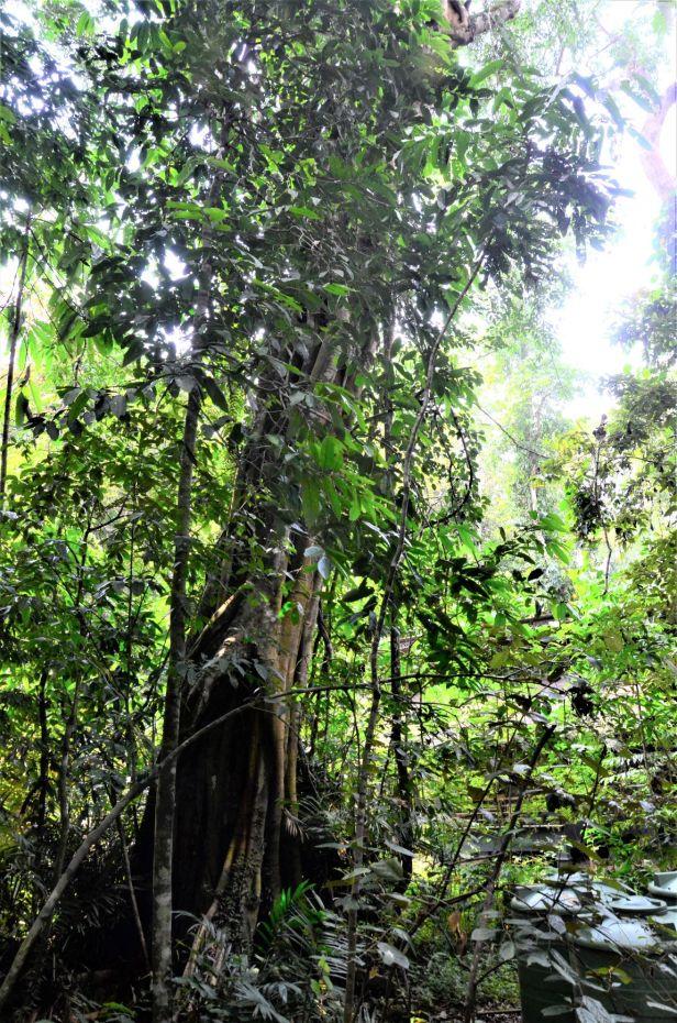 02 Ficus stricta  Sukau Rainforest Lodge●20190469★ Shuai LIAO-LSL_3377.JPG