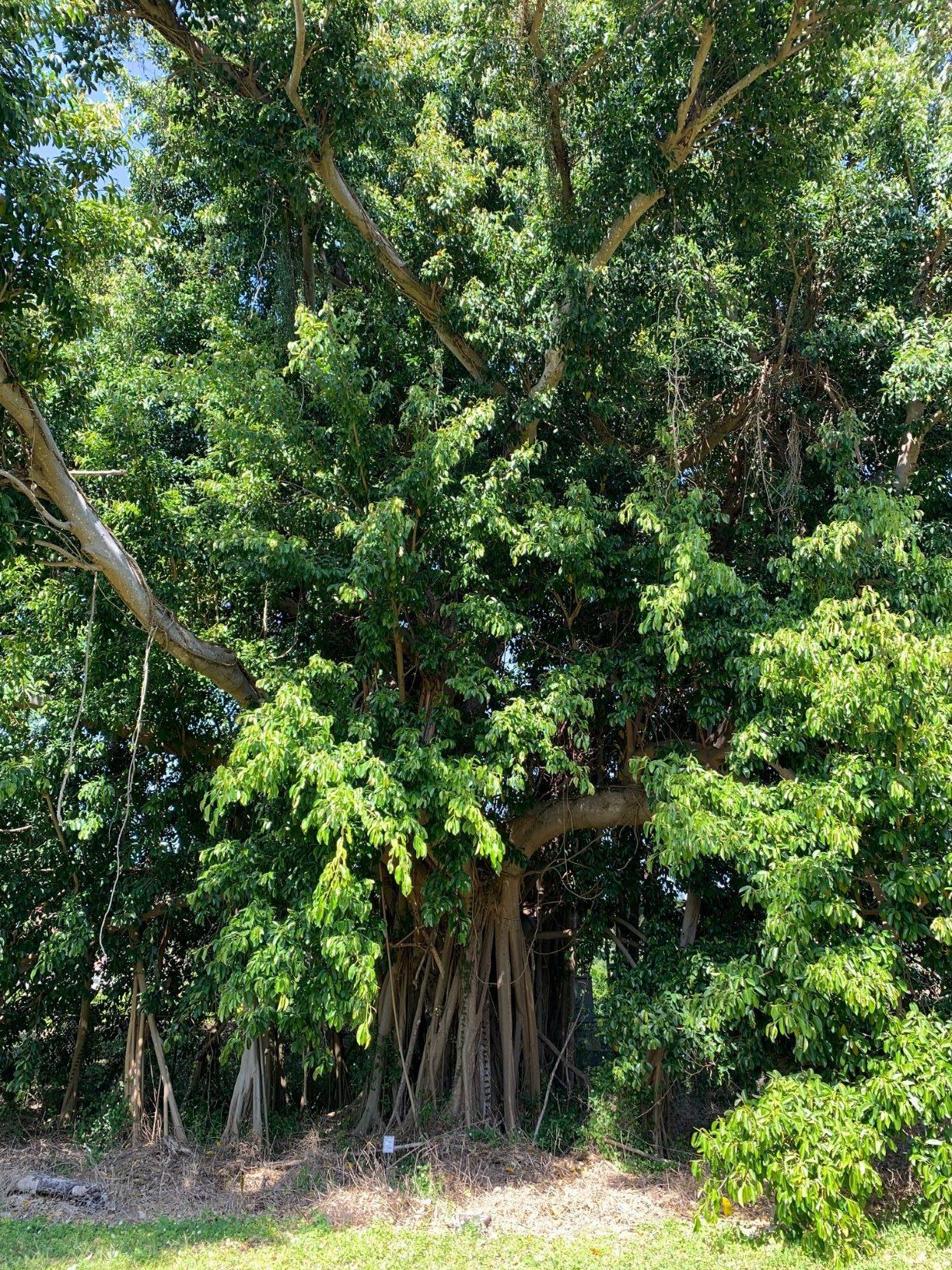02 Ficus subcordata— Florida, USDA-ARS Subtropical HRS◆ Java●PI 67502●20200011★Alex Sanchez-1.jpg