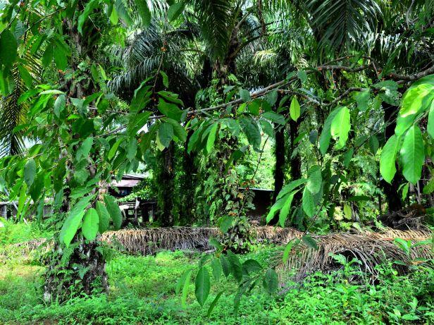 02 Ficus subulata Tongod, Kg. Semundoh●20190422★ Shuai LIAO-LSL_1624.JPG