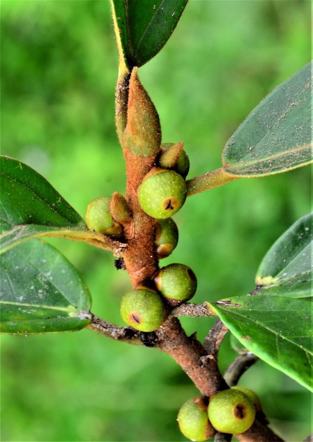 03 Ficus consociata, Beluran, Ulu Sapa Payau FR, ●20190434★ Shuai LIAO-LSL_2054.JPG