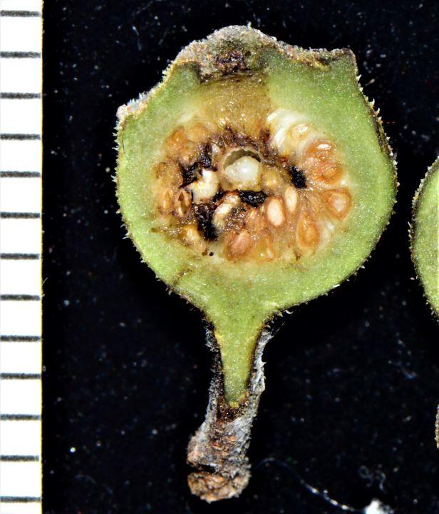 03 Ficus gul Kg. Nalumad●20190353★ Shuai LIAO-LSL_0640.JPG