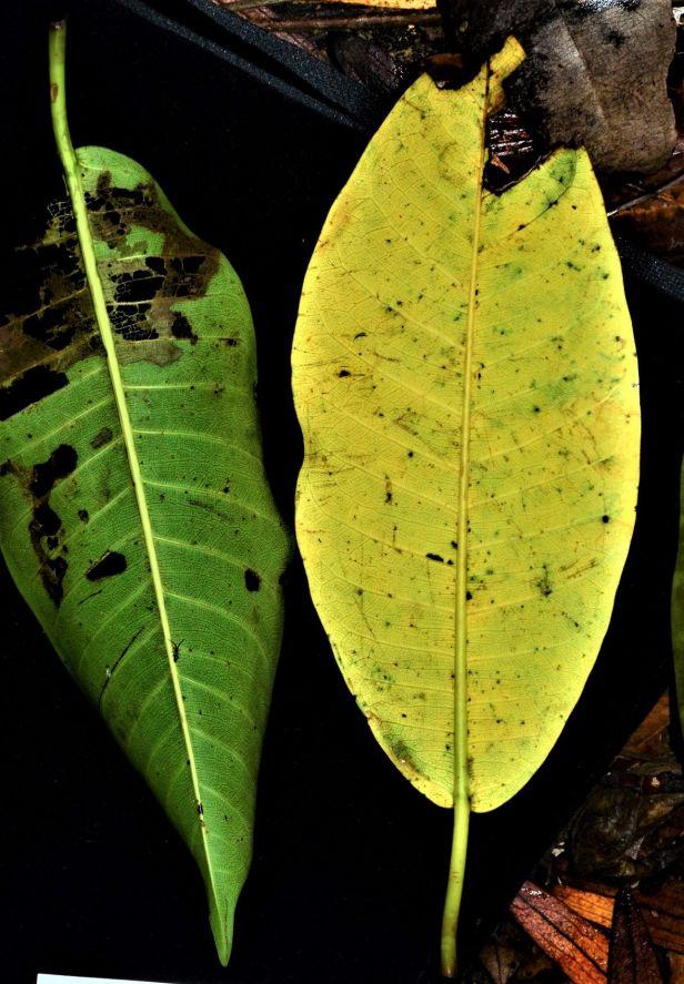 03 Ficus lawesii, Sukau Rainforest Lodge●20190468★Shuai LIAO-LSL_3369