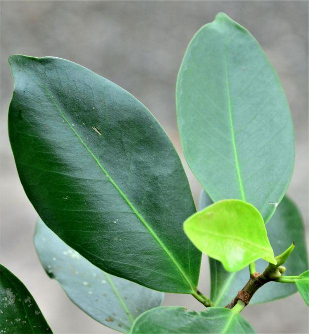 03 Ficus microcarpa, Sepilok Nature Resort 20190437★ Shuai LIAO-LSL_2116.JPG