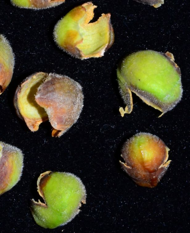 03 Ficus stricta calytrate bud covers Sukau Rainforest Lodge●20190469★ Shuai LIAO-LSL_3398