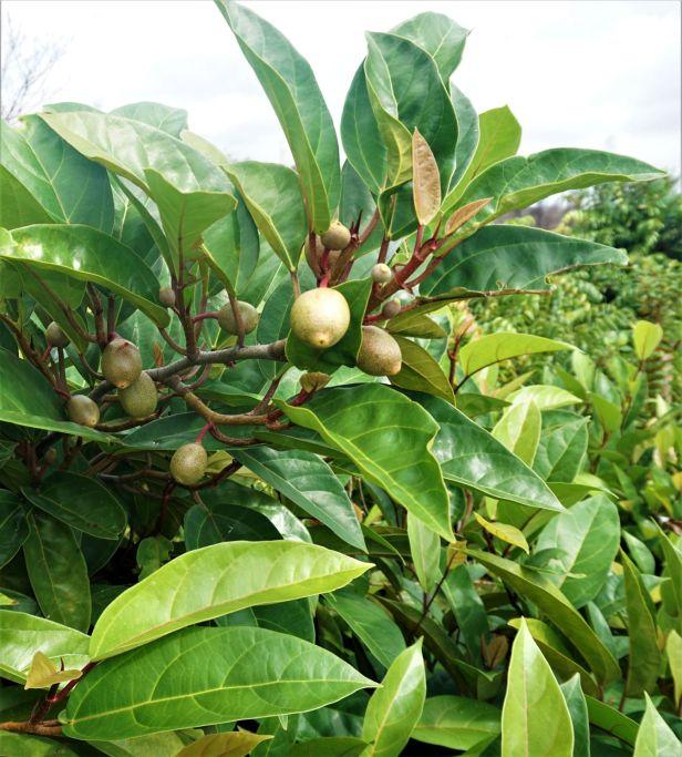 04 Ficus apiocarpa Pontianak Ripin DSC03115 - Copy.JPG