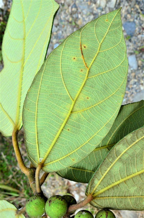 04 Ficus brunneoaurata  Tambunan, Kg. Tonop●20190373★Shuai LIAO-LSL_9498.JPG