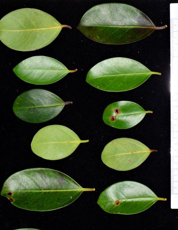 04 Ficus delosyce, Beluran, Tawai FR, Death March Memorial●20190433★ Shuai LIAO-LSL_2028