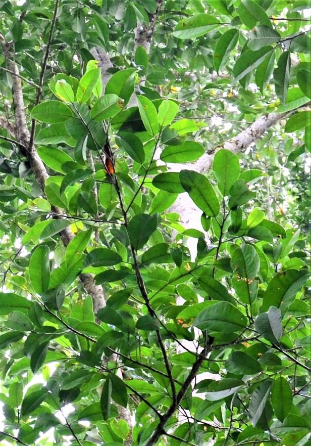 04 Ficus lawesii, Sukau Rainforest Lodge●20190470★ Shuai LIAO-LSL_3438.JPG