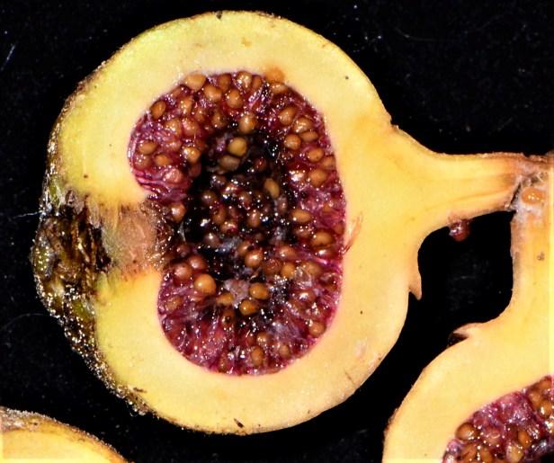 05 Ficus fistulosa fem Nalumad, Sg. Mokodou●20190360★Shuai LIAO-LSL_9005.JPG
