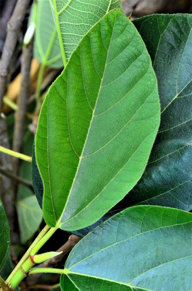05 Ficus fulva, Kg. Togis●20190364★ Shuai LIAO-LSL_9102.JPG