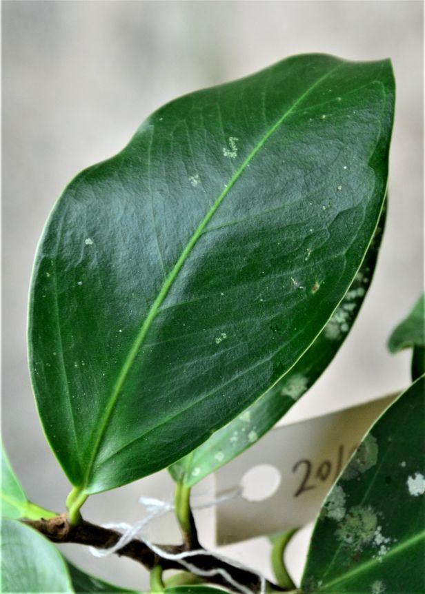 05 Ficus microcarpa, Sepilok Nature Resort 20190437★ Shuai LIAO-LSL_2116.JPG