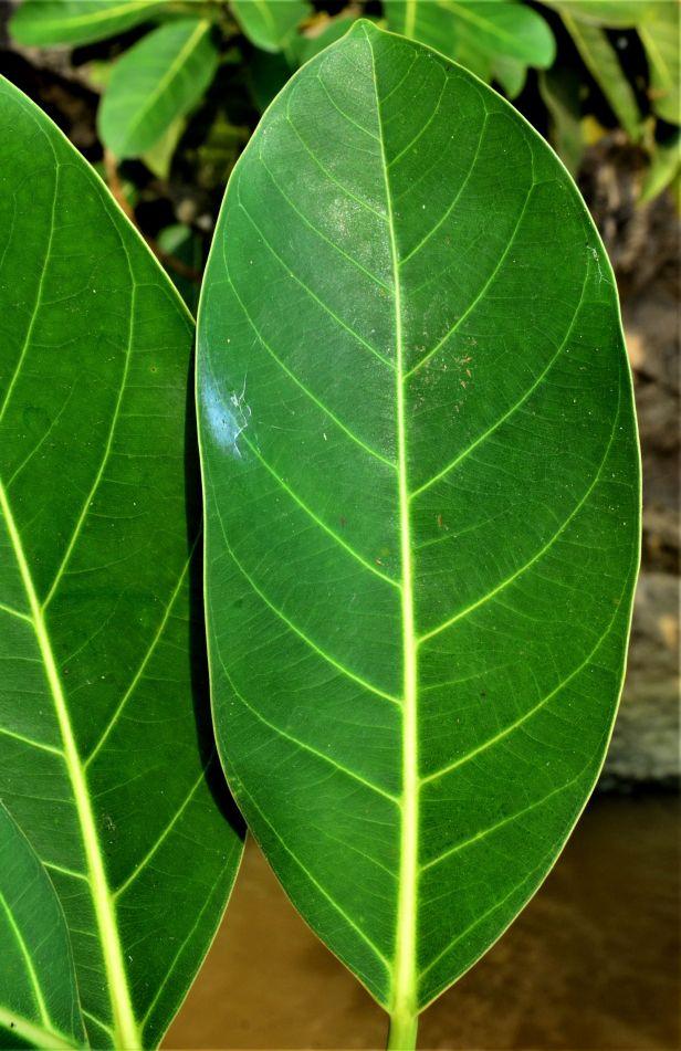 05 Ficus stupenda Kg. Sukau, ●20190478★ Shuai LIAO-LSL_3753 - Copy.JPG