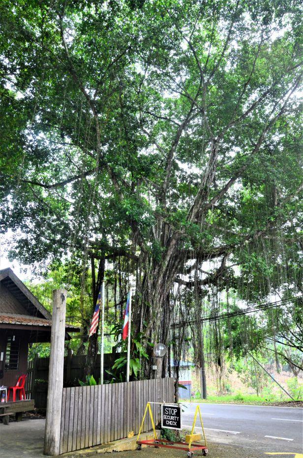 06 Ficus microcarpa, Sepilok Nature Resort 20190437★ Shuai LIAO-LSL_2116.JPG