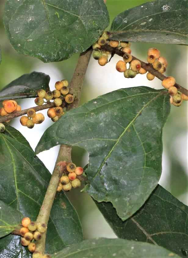 06 Ficus scaberrima royal Mulu Resort HS IMG_8795