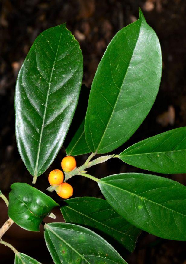 06 Ficus subgelderi  Tongod, Pinangah FR●20190428★ Shuai LIAO-LSL_1749.JPG