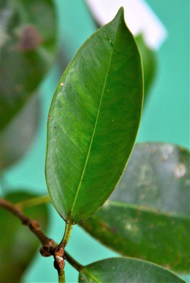 06 Ficus sumatrana Kg Sukau ●20190473★ Shuai LIAO-IMG_9752