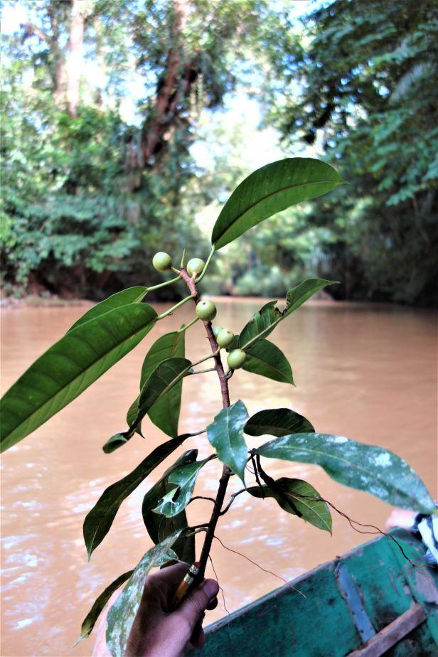 07 EG 834 Ficus globosa  Elliot Gardner.JPG