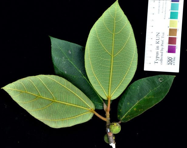 07 Ficus brunneoaurata  Tambunan, Kg. Tonop●20190373★Shuai LIAO-LSL_9498.JPG