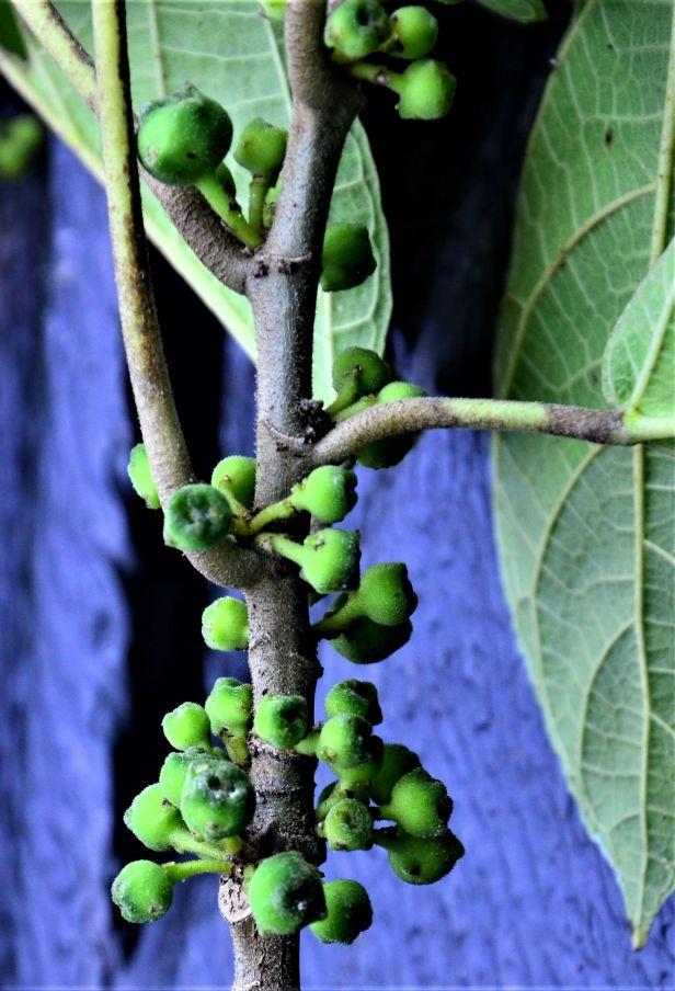 07 Ficus gul Kg. Nalumad●20190353★ Shuai LIAO-LSL_0640
