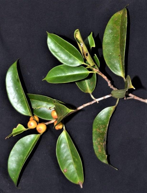 07 Ficus sundaica Pontianak.jpg