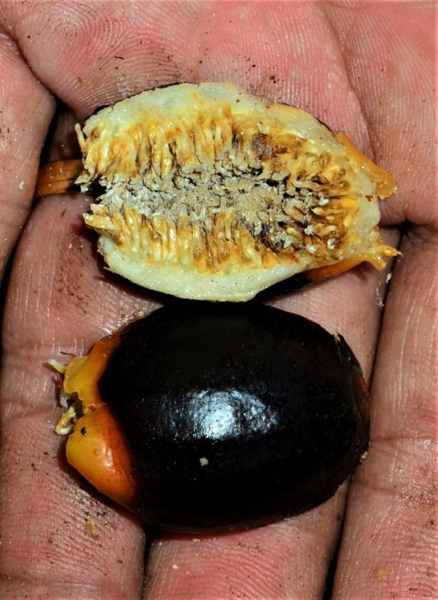 08 Ficus forstenii Ranau Kg. Luanti Baru, ●20190406★ Shuai LIAO-LSL_0966.JPG