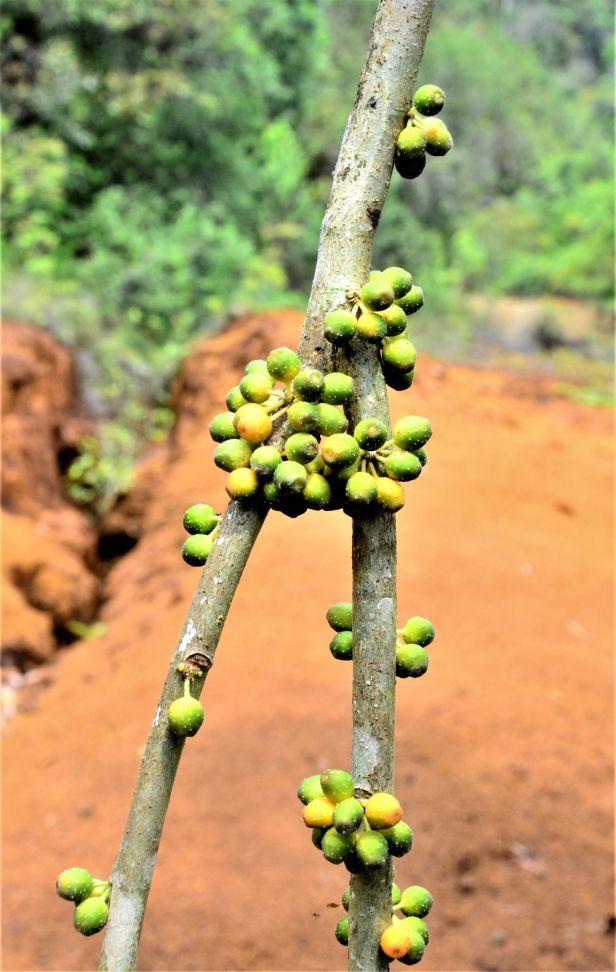08 Ficus midotis, Tongod, Tangkulap FR●20190414★Shuai LIAO-LSL_1377.JPG
