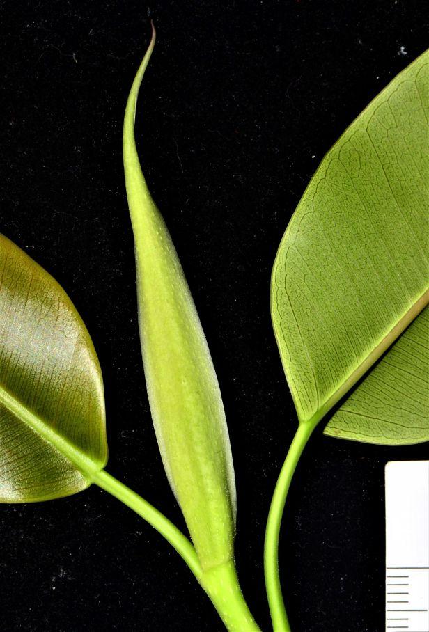 08 Ficus subcordata— Florida, USDA-ARS Subtropical HRS◆ Java●PI 67502●20200011★Alex Sanchez-1.jpg