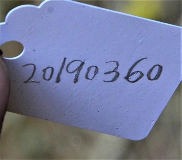 09 Ficus fistulosa fem Nalumad, Sg. Mokodou●20190360★Shuai LIAO-LSL_9005.JPG