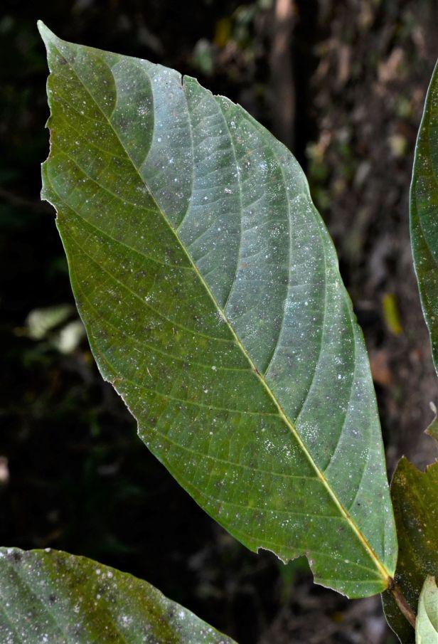 10 Ficus fistulosa fem Nalumad, Sg. Mokodou●20190360★Shuai LIAO-LSL_9005.JPG
