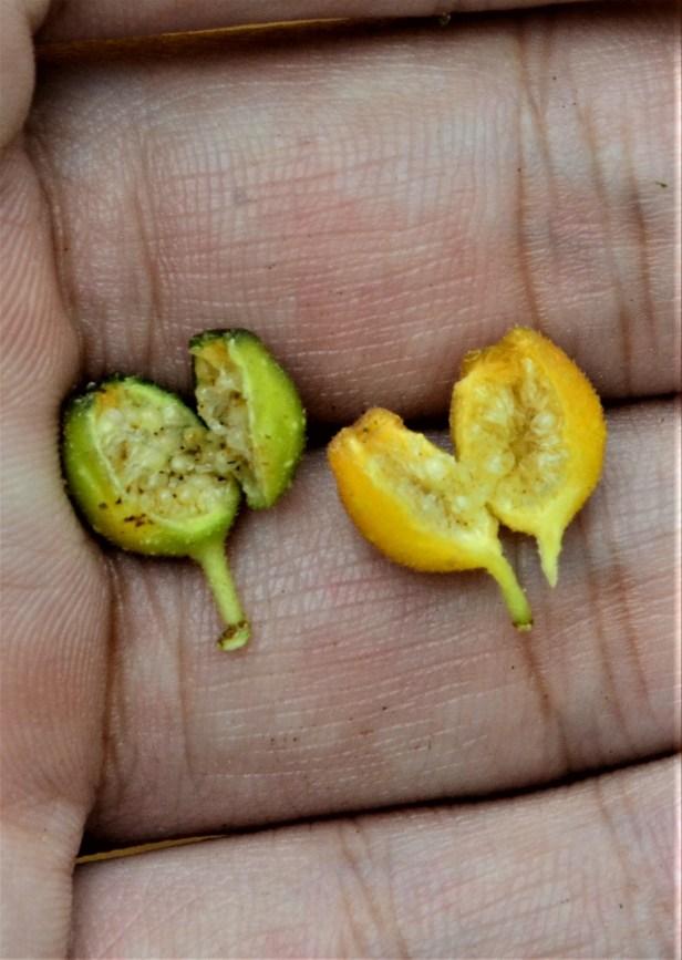 10 Ficus midotis, Tongod, Tangkulap FR●20190414★Shuai LIAO-LSL_1377.JPG